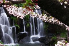 山崎川瑞穂の桜