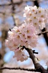 きれいに桜色