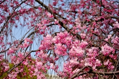 満開!枝垂桜