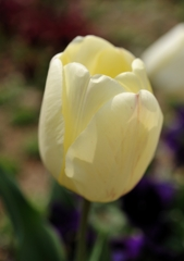 淡い黄色のチューリップ