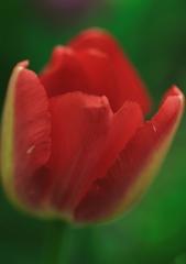 赤いチューリップ