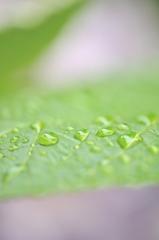 雨に濡れた葉