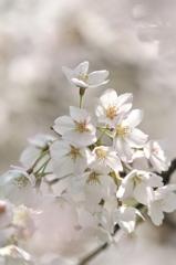 ぼんやり春の夢の中