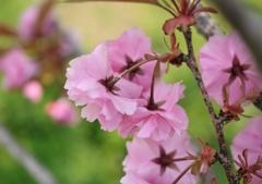 八重桜、後ろから