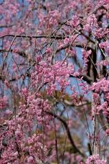 満開〜枝垂桜