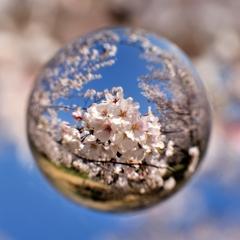 宙玉レンズ13〜青空と桜