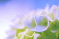 淡くソフトに青く咲く