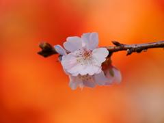 鹽竈神社の四季桜Ⅱ