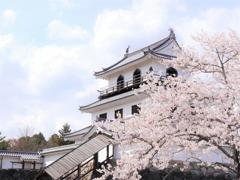 白石城の桜Ⅱ