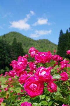 東沢バラ公園のバラⅡ