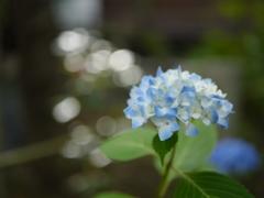 資福寺の紫陽花2018Ⅹ