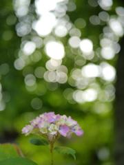 資福寺の紫陽花2018Ⅶ