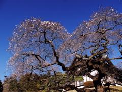鹽竈神社の四季桜Ⅲ
