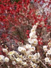 公園の紅白梅