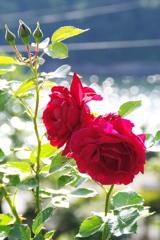 東沢バラ公園のバラⅣ