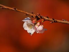 鹽竈神社の四季桜