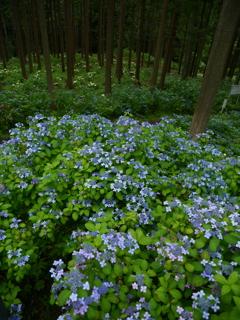 みちのくあじさい園の紫陽花Ⅱ