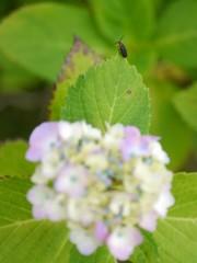 資福寺の紫陽花2018Ⅷ