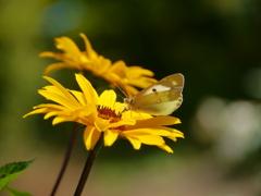 ガーデンのモンシロチョウ