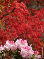 鹽竈神社のシャクナゲ