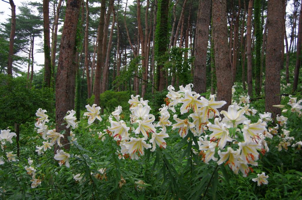 昭和万葉の森のヤマユリ2020Ⅴ
