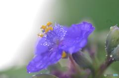 ツユですねー。 あ、紫のヤツ、 そりゃツユ草っすねー。
