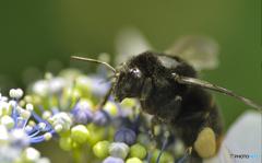 アジサイをアジわう蜂。