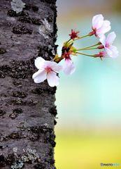 みんな桜フォト、いいなーっ!ボクも参加しよーっと。