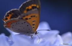 アジサイをアジわう蝶。