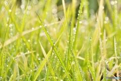 雑草は朝日で輝く