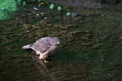 オオタカ幼鳥 (2)