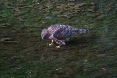 オオタカ幼鳥 (5)