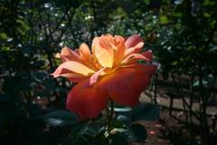 ばら苑の薔薇 (4)