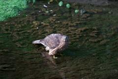 オオタカ幼鳥 (3)