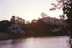 夕暮れと桜