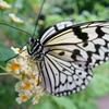 昆虫園の蝶 (3)