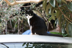 車の上の猫