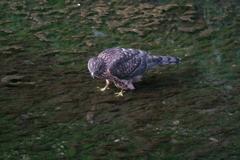 オオタカ幼鳥 (6)