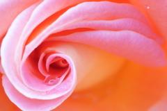 超マクロの薔薇 (2)