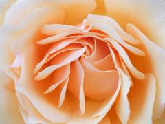 超マクロの薔薇 (1)