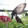 昆虫園の蝶 (2)