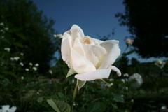 ばら苑の薔薇 (3)