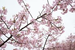 曇り空の河津桜