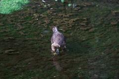 オオタカ幼鳥 (4)