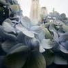 都庁と紫陽花
