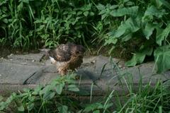 オオタカ幼鳥 (7)