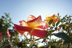 ばら苑の薔薇
