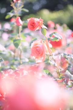 晴れの日の薔薇