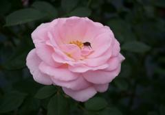 秋のバラ+