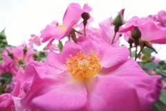 広角マクロの薔薇 (1)